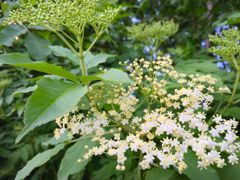 goodblog: Holunderblüten-Likör - Holunderblüte