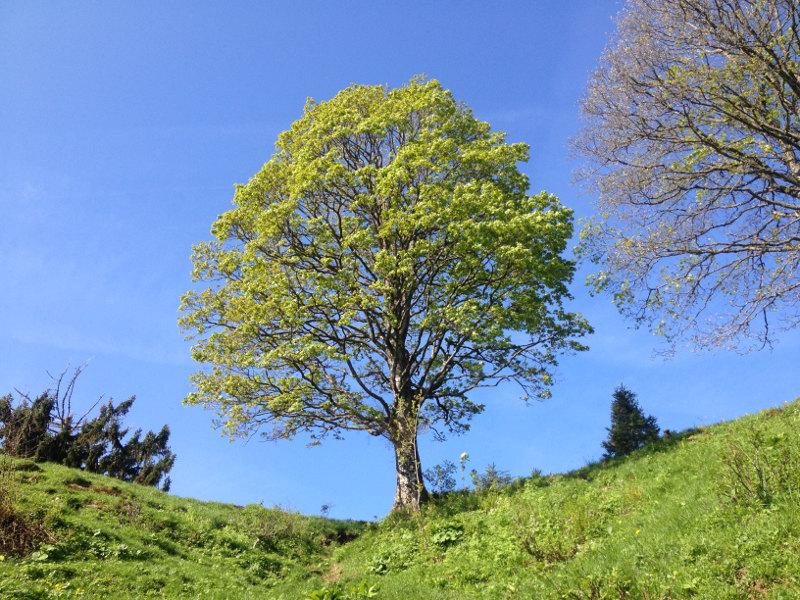 goodblog - Mein Hausberg: Der Schoberstein - Baum