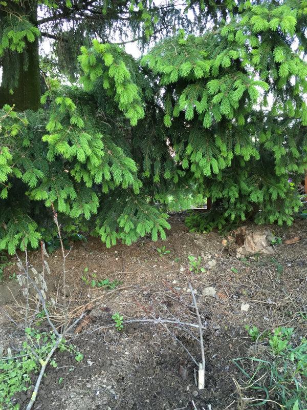 goodblog: Wipferlsirup eingraben