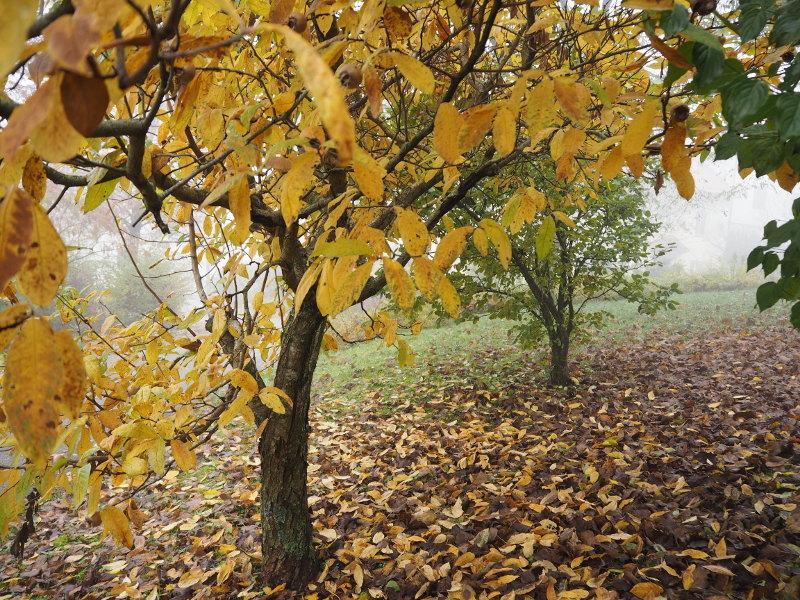 goodblog: Quitten und Mispeln - Mispelbaum und Quittenbaum