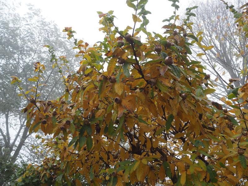 goodblog: Quitten und Mispeln - Mispelbaum