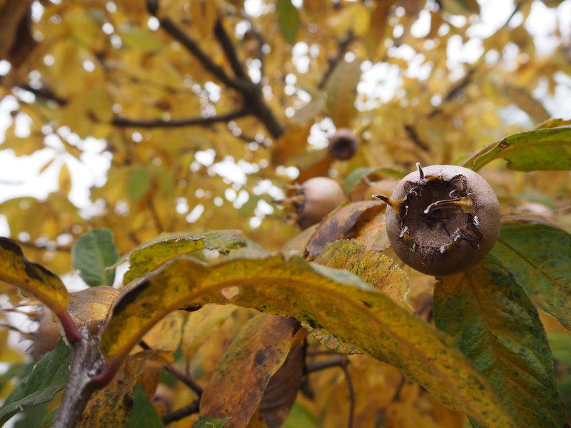 goodblog: Quitten und Mispeln - Mispeln