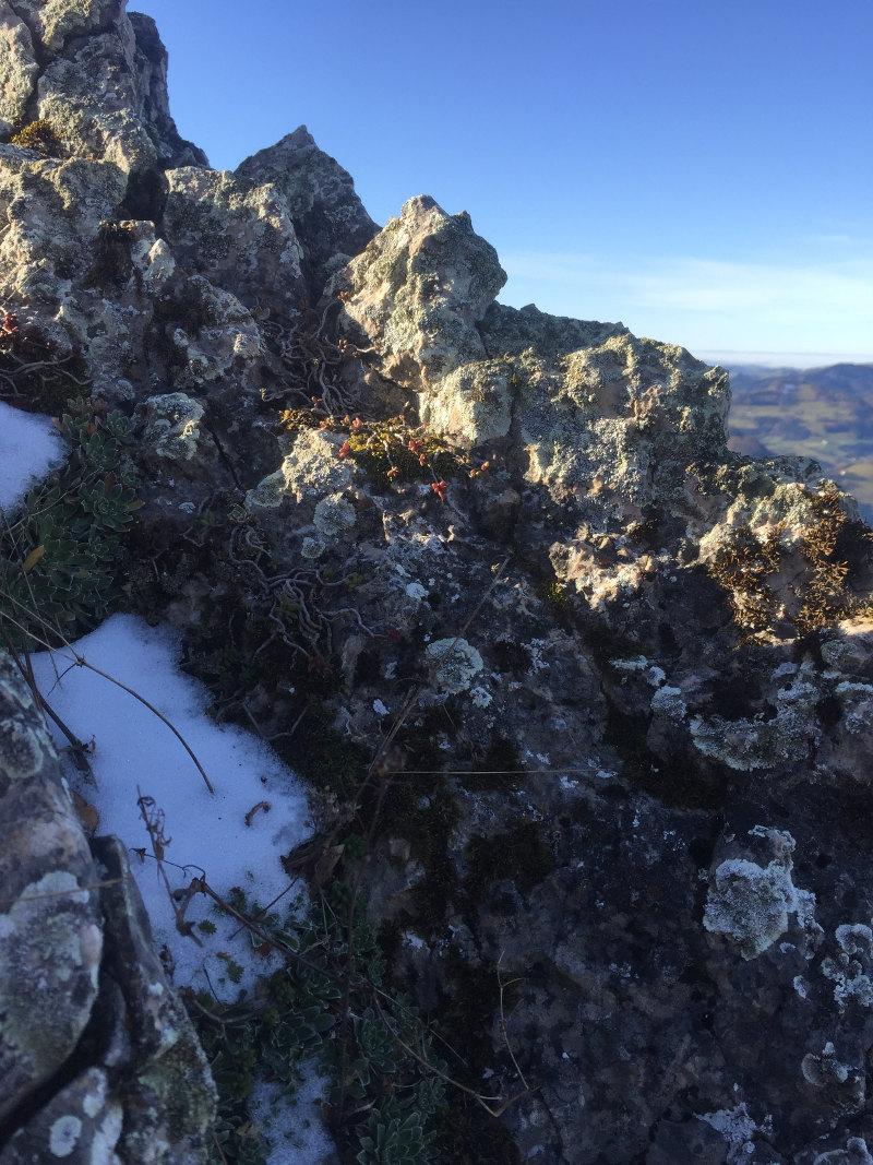 goodblog in der NEUEN Vorarlberger Tageszeitung: Wundversorgung aus dem Garten - Steinbrech