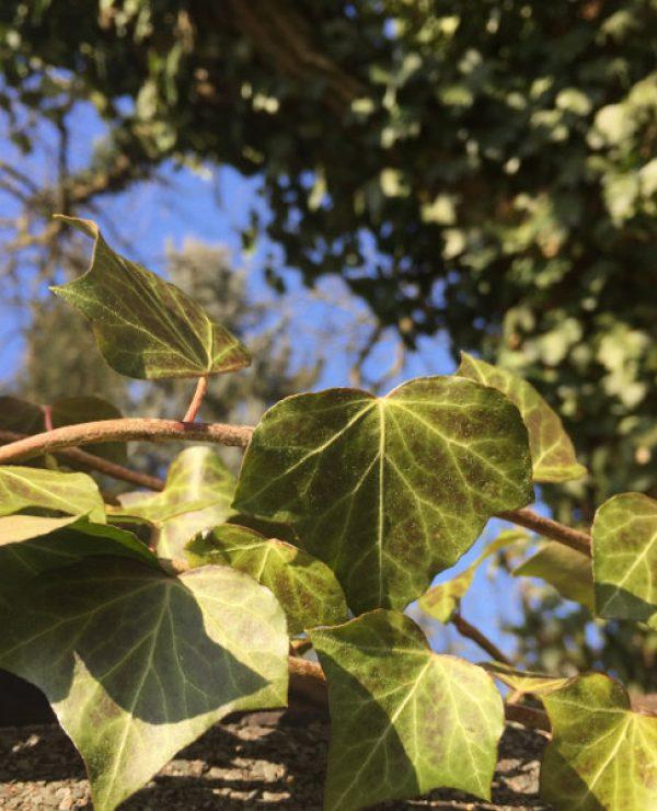 goodblog in der NEUEN Vorarlberger Tageszeitung: Efeu - wilde, hilfreiche Zierpflanze - kleine, junge Blätter