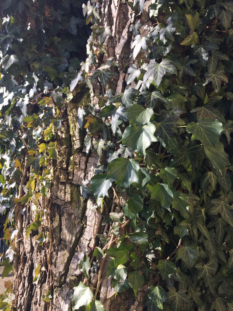 goodblog in der NEUEN Vorarlberger Tageszeitung: Efeu - wilde, hilfreiche Zierpflanze - schädigt Baum nicht