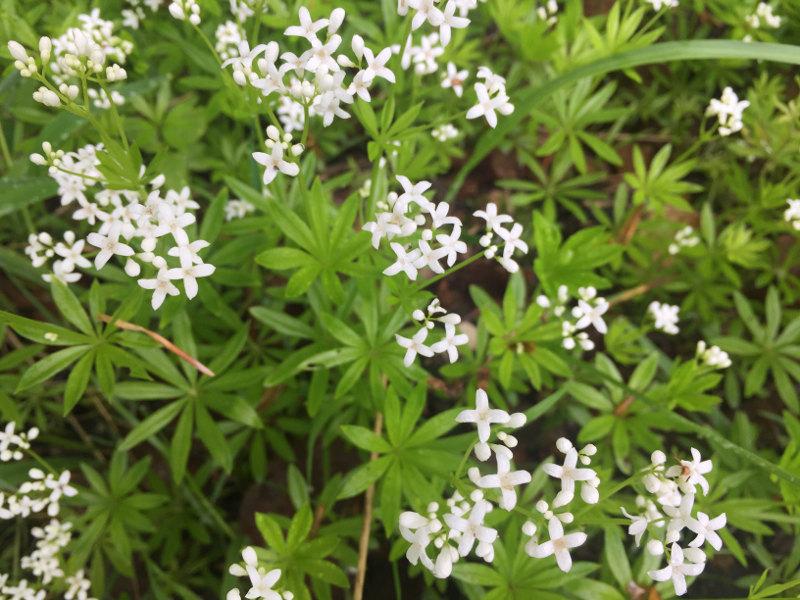 goodblog in der NEUEN Vorarlberger Tageszeitung: Waldmeister für die Maibowle - Blüten