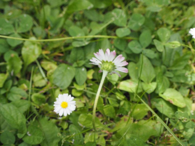 goodblog in der NEUEN Vorarlberger Tageszeitung: Gänseblümchen-Schmier - Rotfärbung nach kalten Nächten