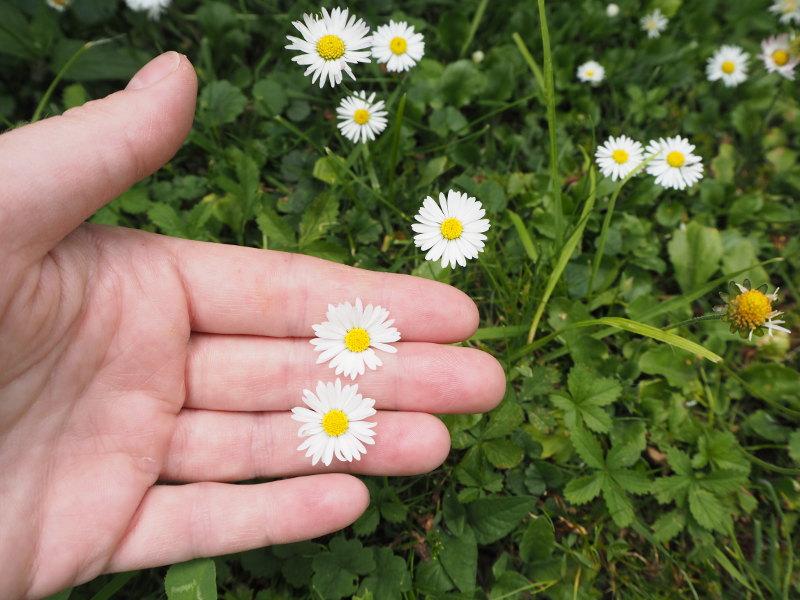 goodblog in der NEUEN Vorarlberger Tageszeitung: Gänseblümchen für die Gänseblümchen-Schmier