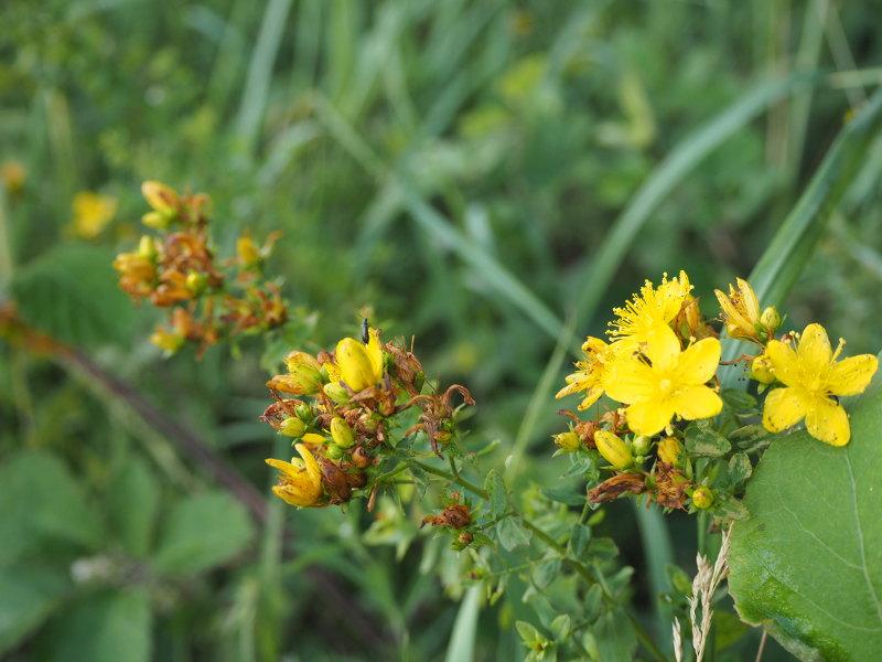 goodblog in der NEUEN Vorarlberger Tageszeitung: Rotöl ansetzen - Der Blütenstand des Echten Johanniskraut