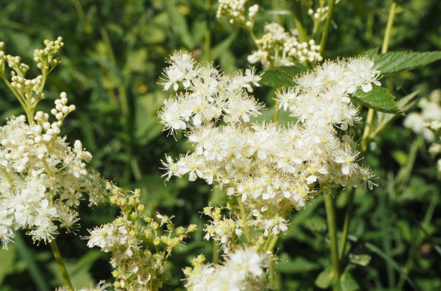 goodblog in der NEUEN Vorarlberger Tageszeitung: Mädesüß für die Reiseapotheke - die Blüte