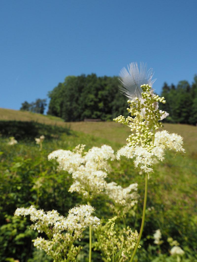 goodblog in der NEUEN Vorarlberger Tageszeitung: Mädesüß für die Reiseapotheke - Blüte mit Feder