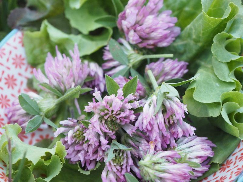goodblog in der NEUEN Vorarlberger Tageszeitung: im Rotklee pflanzliche Hormone - Blütenköpfe für den Salat