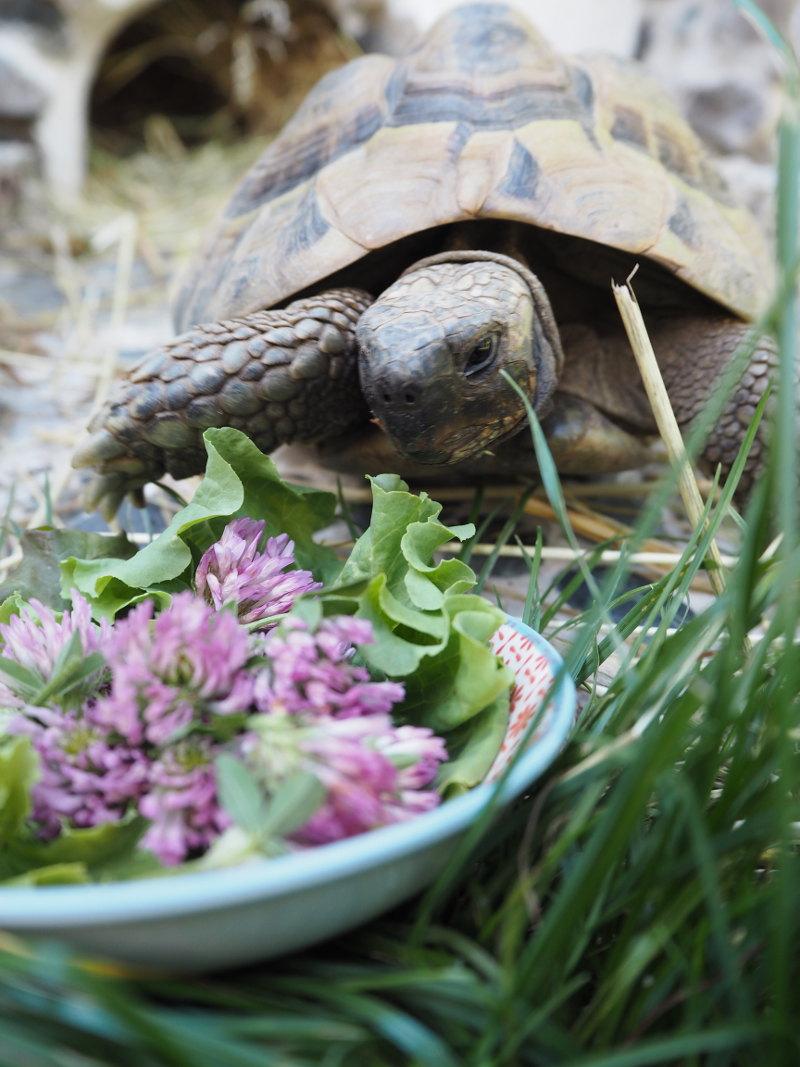 goodblog in der NEUEN Vorarlberger Tageszeitung: im Rotklee pflanzliche Hormone - begehrter Schildkröten-Snack