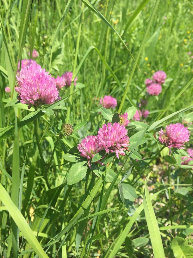 goodblog in der NEUEN Vorarlberger Tageszeitung: im Rotklee pflanzliche Hormone