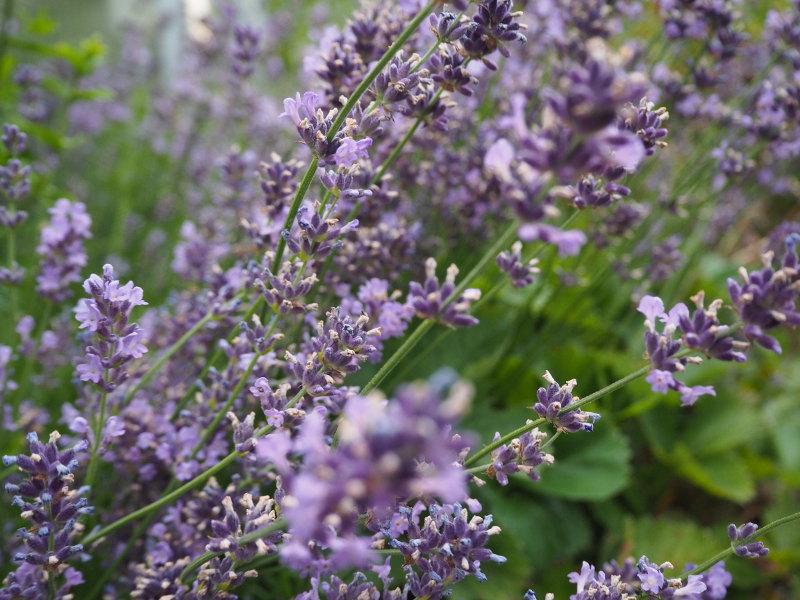 goodblog in der NEUEN Vorarlberger Tageszeitung: Kräuterbuschen an Maria Himmelfahrt - Lavendelblüten