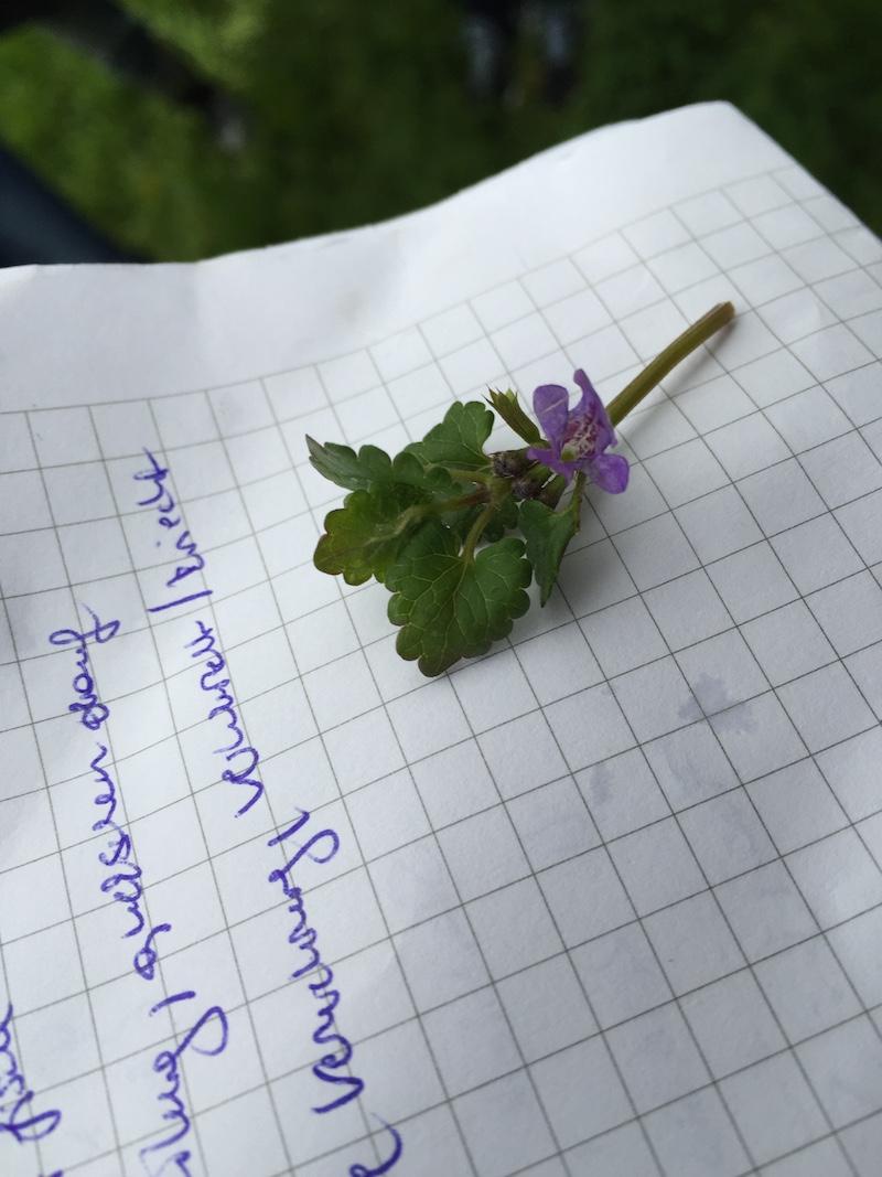 goodblog in der NEUEN Vorarlberger Tageszeitung: Gundelrebe zum Putzen - Gundelrebenblüte
