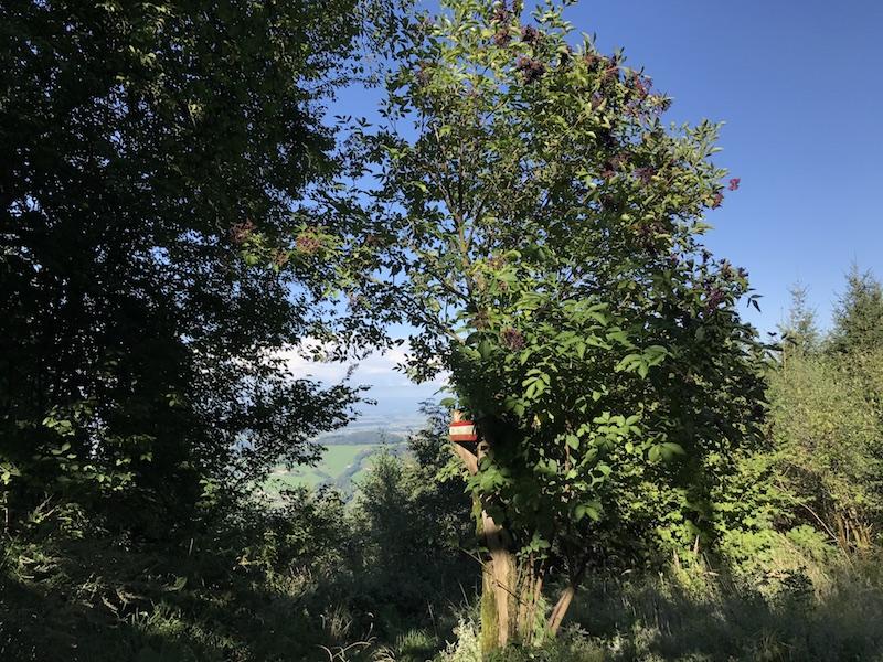 goodblog in der NEUEN Vorarlberger Tageszeitung: Hollerröster - Holunderstrauch