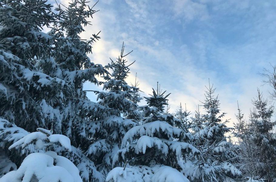 goodblog in der NEUEN Vorarlberger Tageszeitung: Fichte und Tanne