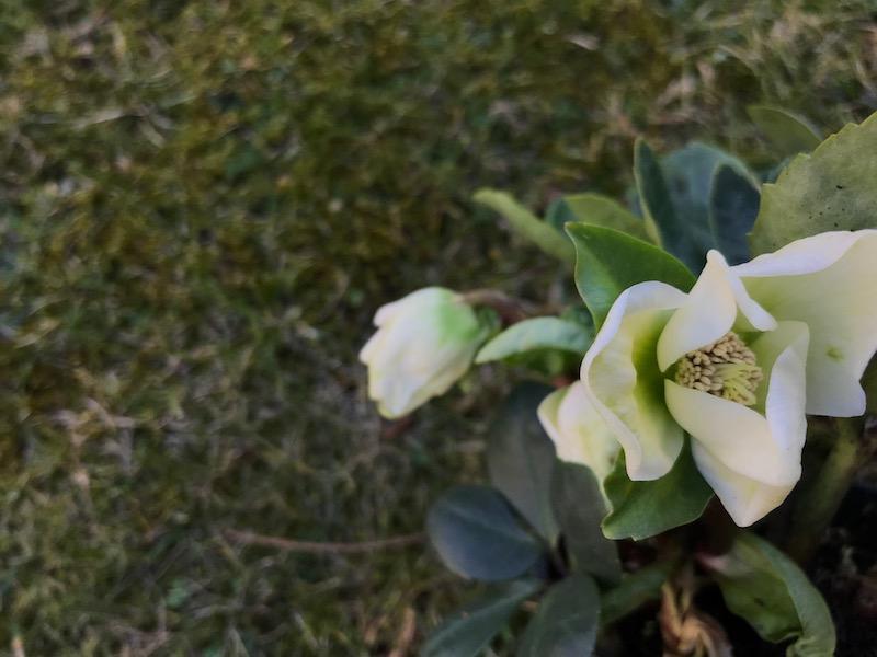 goodblog in der NEUEN Vorarlberger Tageszeitung: Schneerose - kultivierte Gartenpflanze