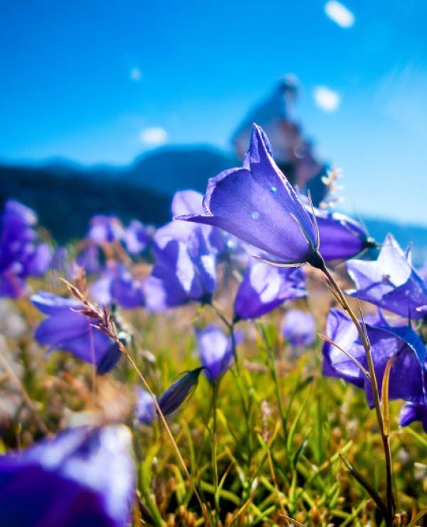 goodblog: Gjaidalm - Glockenblumen (c) pictoresk.at