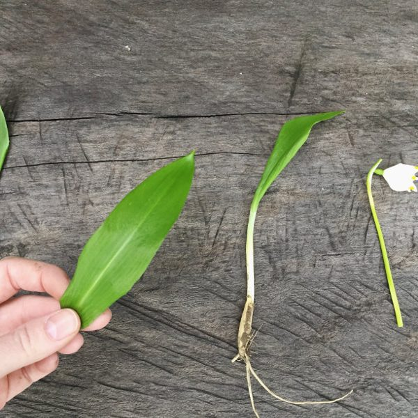 goodblog: Bärlauch sicher bestimmen - Wurzel, Blattober- und unterseite